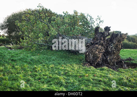 near Launceston, UK. 28th Oct, 2013. An ancient oak tree brought down on the devon/Cornwall border during the St - Stock Photo