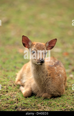 Sika Deer (Cervus nippon), resting fawn, captive, Wildpark Alte Fasanerie, Hanau, Hesse, Germany - Stock Photo