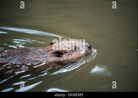 Close up of Eurasian / European beaver (Castor fiber) swimming in lake - Stock Photo