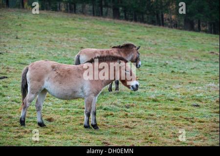 Two Przewalski horses (Equus ferus przewalskii) native to the steppes of Mongolia, central Asia - Stock Photo