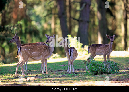 Fallow deer (Dama dama), captive, group of does and fawns, Hesse, Germany - Stock Photo