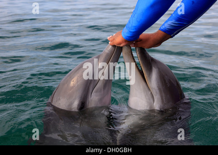 Two Common Bottlenose Dolphin (Tursiops truncatus), captive, being fed by a trainer, Institute of Marine Biology, - Stock Photo