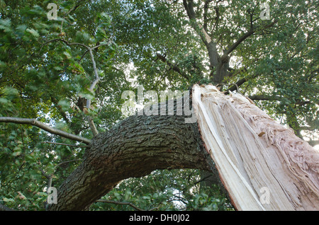 wind damaged oak tree a mature branch has been torn broken off from main tree trunk in gale force winds - Stock Photo