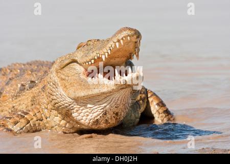 Nile crocodile (Crocodylus niloticus) feeding on the edge of the water hole, Tshukudu Game Lodge, Hoedspruit