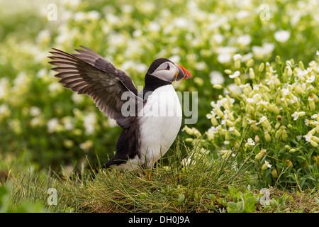 Atlantic puffin (Fratercula arctica), Farne Islands, Northumberland, England, United Kingdom, Europe - Stock Photo