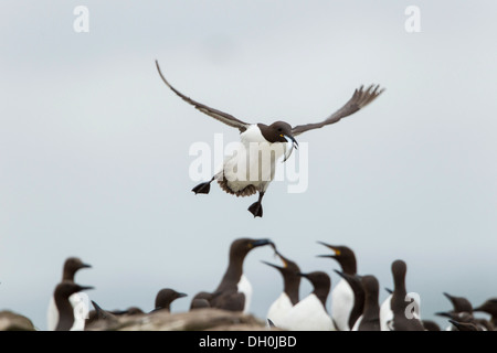 Common murres (Uria aalge), Farne Islands, Northumberland, England, United Kingdom, Europe - Stock Photo