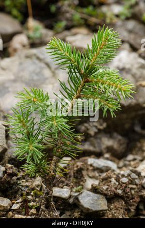 Young spruce tree (Picea), Oberstdorf, Allgaeu, Bavaria - Stock Photo