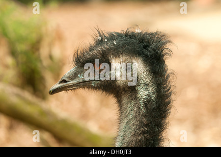 Emu at Melbourne Zoo, Victoria, Australia - Stock Photo