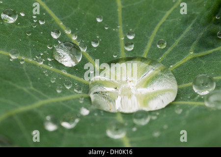 Water drops on a nasturium leaf (Tropaeolum), Hesse, Germany - Stock Photo