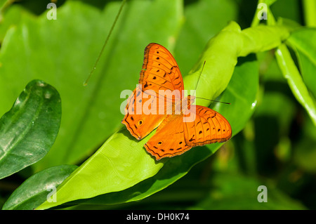 Cruiser Butterfly at Melbourne Zoo, Victoria, Australia - Stock Photo