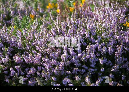 Wild heather (Calluna vulgaris) in bloom, Pembrokeshire Wales - Stock Photo