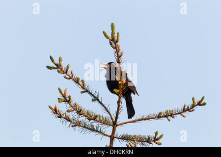 Blackbird (Turdus merula), male, singing while perched on a tree, Fuldabrück, Fuldabrück, Hesse, Germany - Stock Photo
