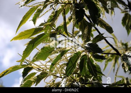 Sweet Horse-Chestnut - Stock Photo