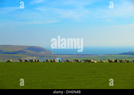 Sheep overlooking Cuckmere Haven, East Sussex, England, UK, Europe. - Stock Photo