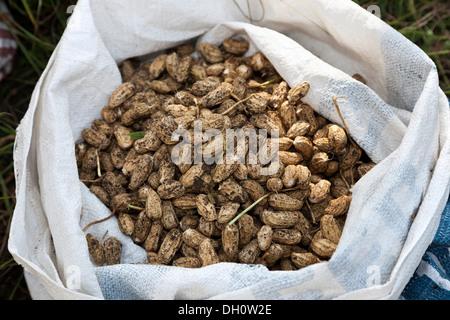 Freshly harvested peanuts, near Candi Dasa, East Bali, Bali, Indonesia, Southeast Asia, Asia - Stock Photo