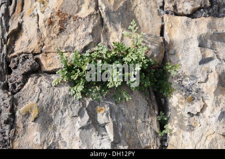Wall-Rue - Stock Photo