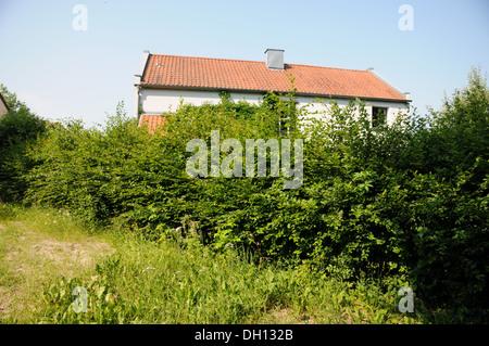 Hornbeam-Hedge before shaping - Stock Photo