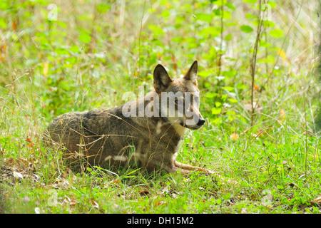 Italian Wolf Canis lupus italicus, Canidae, Abruzzo National Park, Italy - Stock Photo