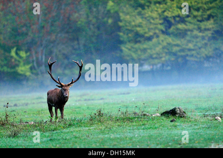 Male of Red deer (Cervus elaphus), Cervidae, Abruzzo National Park, Italy Stock Photo
