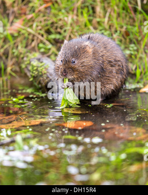 Eurasian water vole ( Arvicola amphibius) eating on the edge of a stream, Sussex, UK - Stock Photo