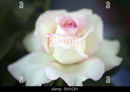 white pink Rose flower close up - Stock Photo