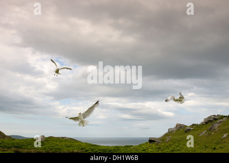 Three Common Gulls flying against cloudy sky in coastal landscape. - Stock Photo