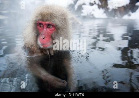Portrait from a Japanese macaque (Macaca fuscata) in a hot spring, Jigokudani Monkey Park, Nagano, Japan. - Stock Photo