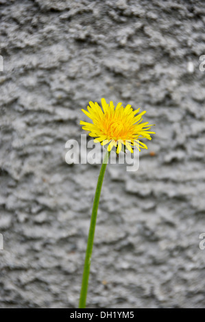 A bright yellow dandelion flower in front of a concrete wall