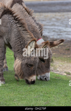 Two wild donkeys grazing by Beaulieu River - the south eastern edge of the New Forest national park in Hampshire, - Stock Photo