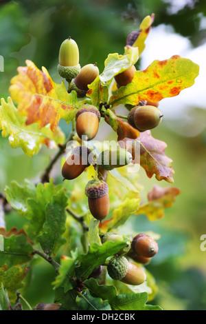 Acorn with leaves in autumn season - Stock Photo