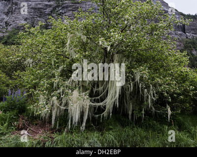 Apple tree covered in blossoms and Old Man's Beard lichen, Mussel Creek estuary, Mussel Inlet, mid-coast British - Stock Photo
