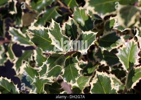 Variegated English Holly (Ilex aquifolium - Argentea Marginata) leaves - Stock Photo