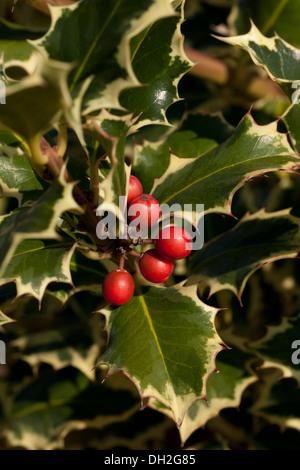 Variegated English Holly (Ilex aquifolium - Argentea Marginata) leaves and berries - Stock Photo