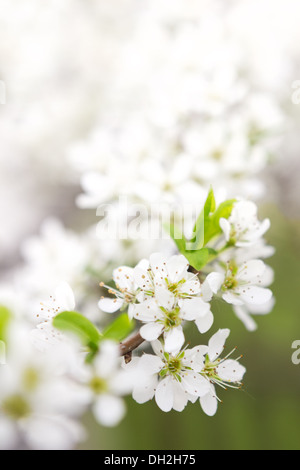 Blossoming branch of apple-tree in sunny day - Stock Photo