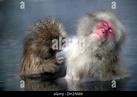 Macaques Macaca fuscata bathing in hot springs of Jigokudani Monkey Park Nagano Honshu Japan - Stock Photo