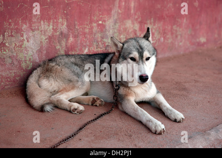 German Shepherd Dog - Stock Photo