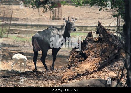 Nilgai blue bull in Jamshedpur zoo Jharkhand India Asia - Stock Photo