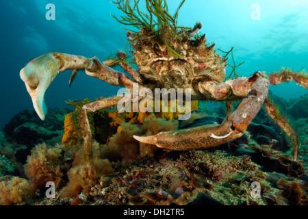 European Spider Crab, Maja squinado, Piran, Istria, Slovenia - Stock Photo