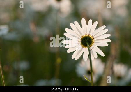Oxeye Daisy (Leucanthemum vulgare) lit by the early morning Sun. - Stock Photo