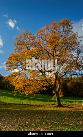 AUTUMNAL SWEET CHESTNUT [Castanea sativa]  TREE WITH GOLDEN LEAVES AND A BLUE SKY - Stock Photo