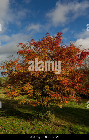 ROWAN TREE  [SORBUS] WITH YELLOW BERRIES AND COLOURED LEAVES IN AUTUMN - Stock Photo