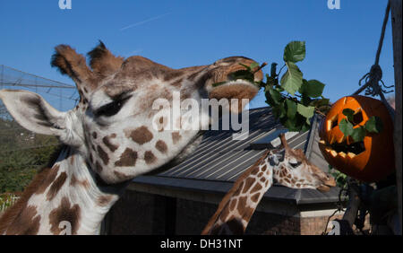 London, UK. 30 October 2013. Giraffes (Giraffa camelopardalis) are fed from pumpkins at their enclosure. Animals - Stock Photo