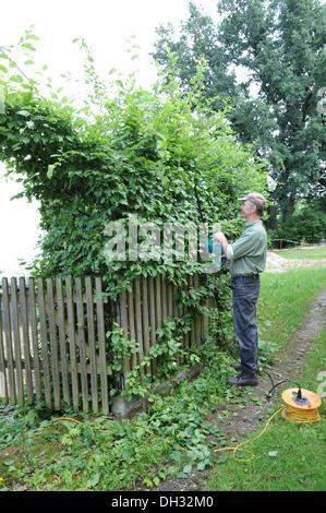Shaping a hornbeam hedge - Stock Photo