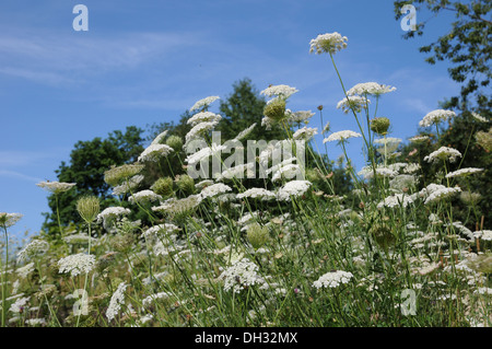 Wild Carot Flowers - Stock Photo
