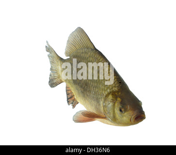 crucian carp on white background - Stock Photo