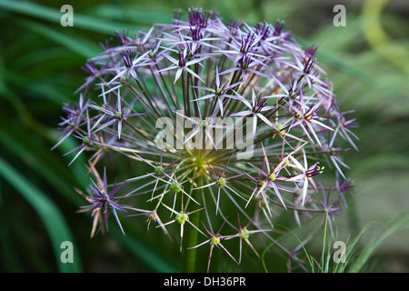 Allium christophii. Close cropped view of spherical umbel of star shaped flowers. England, West Sussex, Chichester, - Stock Photo
