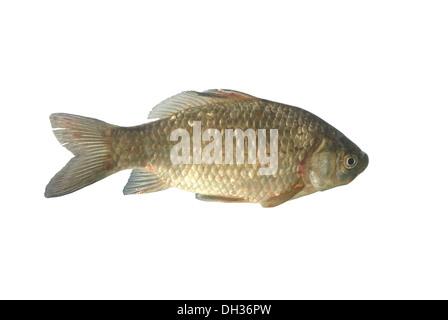 crucian carp on white background - Stock Photo