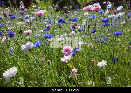 Cornflower Centaurea cyanus. Meadow of mixed wild flowers including white pink and blue cornflowers. England West - Stock Photo