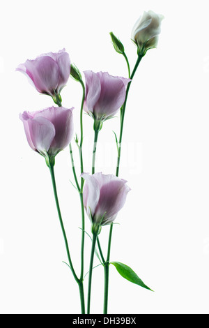 Lisianthus, Eustoma russellianum Piccolo Rose. Studio shot of multiple flower heads arranged on light box. - Stock Photo
