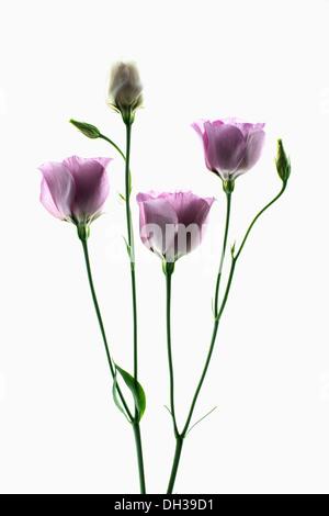 Lisianthus, Eustoma russellianum Piccolo Rose. Studio shot of multiple flower heads arranged and photographed on - Stock Photo